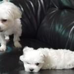 兩隻狗,圓圓和豆豆