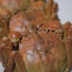 秋日品蟹。親泉農莊無毒大閘蟹正美味