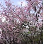 2012陽明山公園櫻花賞