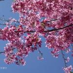 露營。拉拉山紫薇星宿 – 返家沿途的櫻花